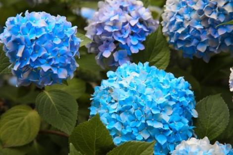 Siniset hortensiat Belgradin kotipihalla